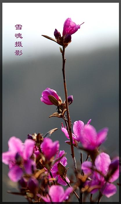 【七绝】:达紫香 - 雪魂 - 东山雪 博客